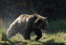Végzetes kirándulás: grizzly medve ölt meg egy sátrában alvó turistát